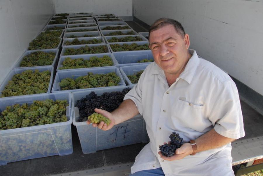 В Алтайском крае собирают первый в этом году урожай винограда.