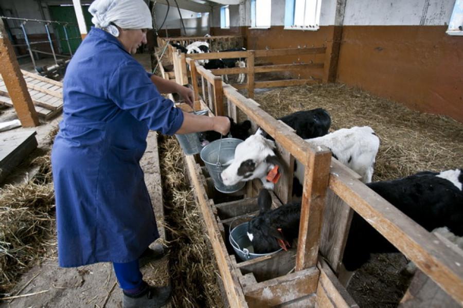 На молочной ферме.