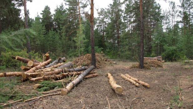 СМИ: проверки алтайского Минприроды показали, что незаконные рубки за полтора года нанесли ущерб в 200 млн рублей