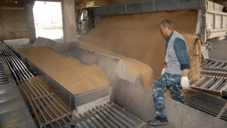Пшеница.