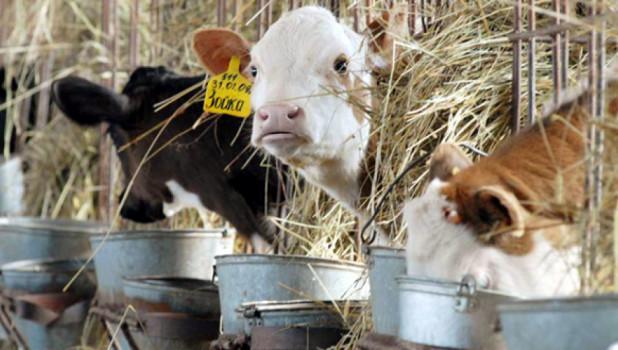 Животноводство, коровы.