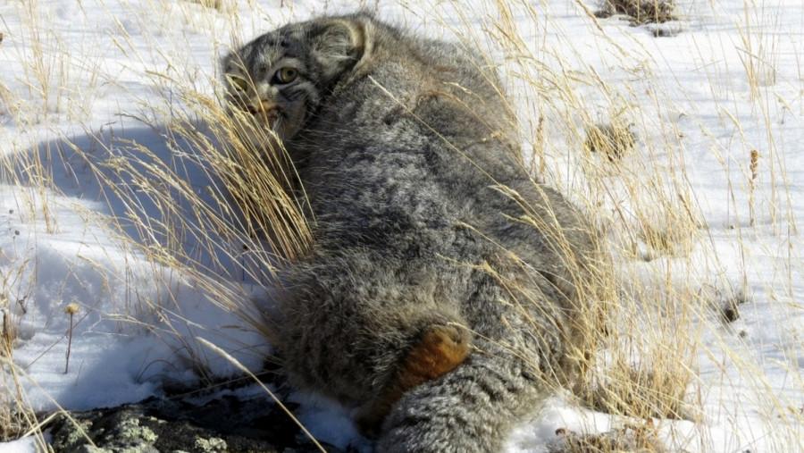 В алтайском национальном парке впервые сфотографировали дикого кота манула.