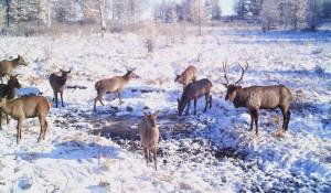 Маралы на снегу.