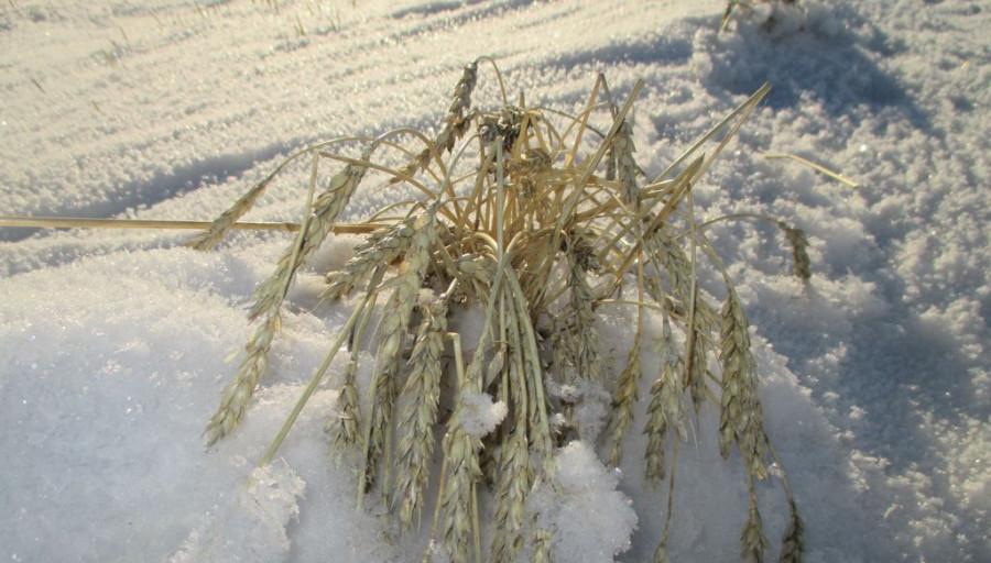 Урожай под снегом.