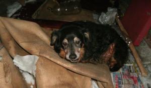 Собака умершей бийчанки.