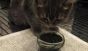 Кот и черная икра.