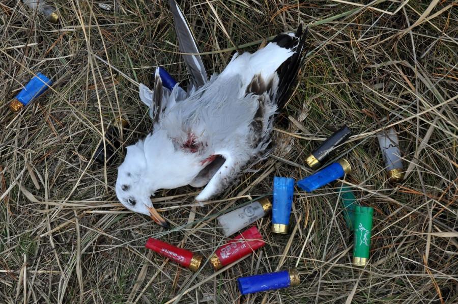 Убитая озерная чайка.