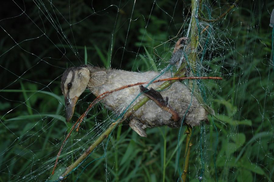 Утенок кряквы в браконьерской сети.