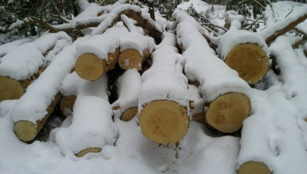 Вырубка сосен в реликтовом бору под Барнаулом.