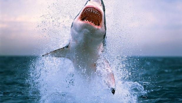 """""""Челюсти"""". В фильме акула умеет сдавать назад. В жизни - нет."""