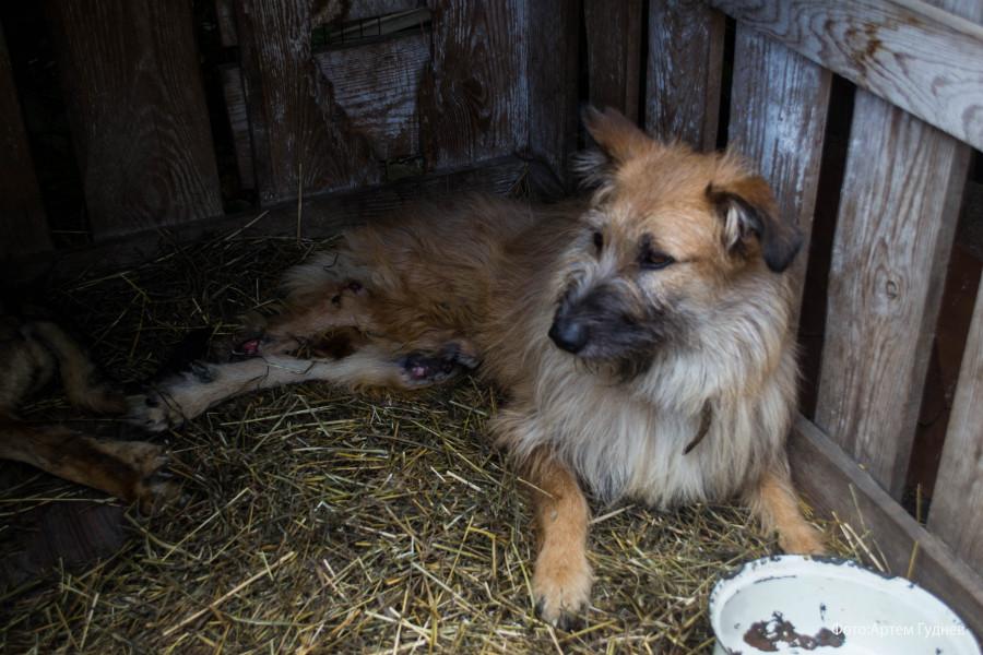 «Они отгрызают себе лапы». Почему в Барнауле приюты отпускают собак, а закон о домашних животных требует доработки - фото 4