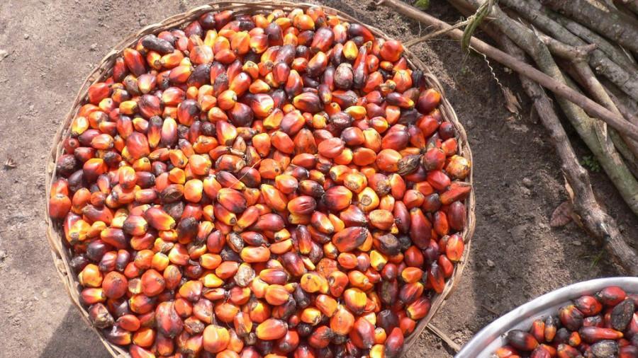 Сбор урожая. Пальмовое масло.