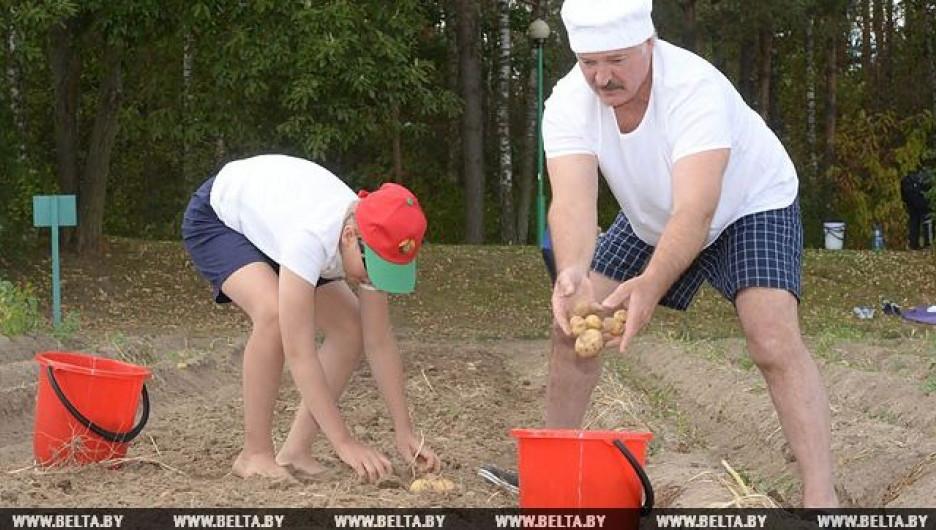 Лукашенко с сыном убрали картофель.