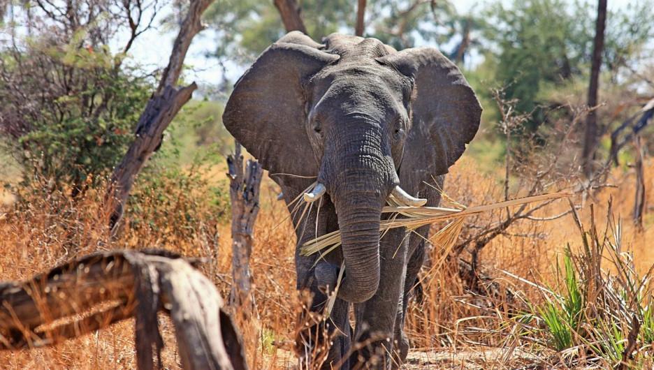 Слон в Африке.
