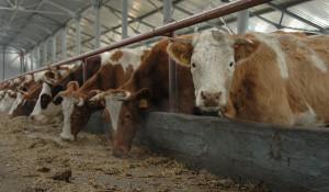 Сельское хозяйство. Коровы.