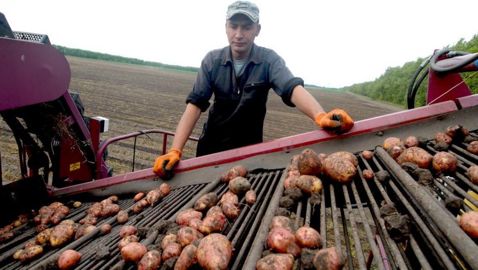 В Алтайском крае собирают картофель для будущих чипсов Lay's.