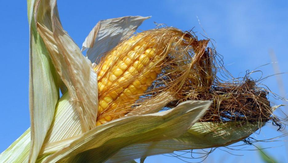 Уборка кукурузы в Алтайском крае. Сентябрь, 2015.