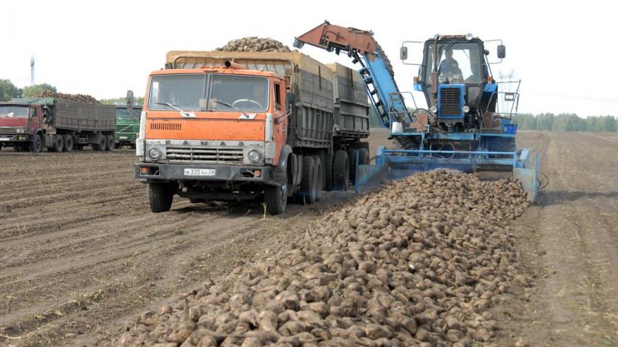 Уборка сахарной свеклы в Алтайском крае. Сентябрь, 2015.