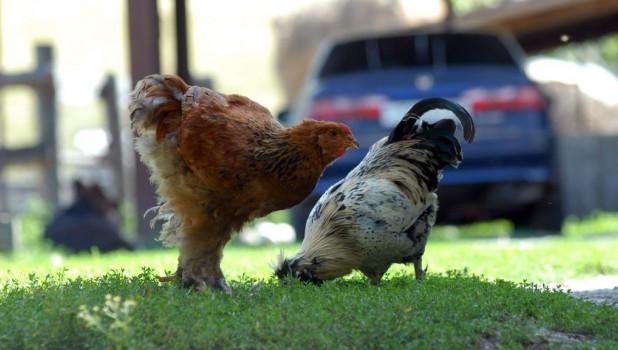 Курицы.