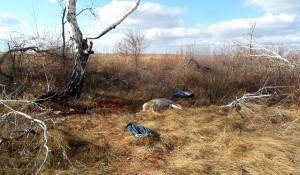 На Алтае новосибирские браконьеры убили двух косуль.