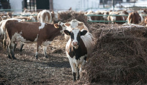 "Коровы на ферме АКХ ""Ануйское""."