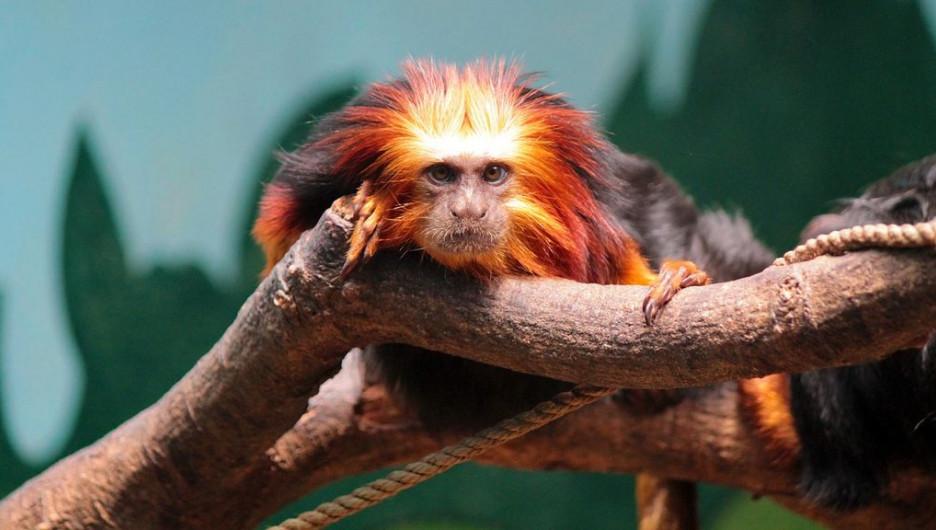Красная огненная обезьяна.