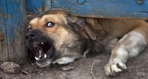 Злая собака.