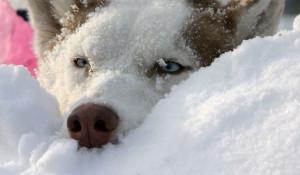 Собака в снегу.