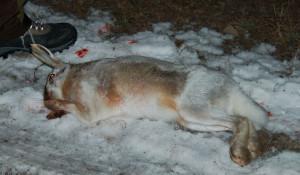 Животные, убитые браконьерами в Кислухинском заказнике.