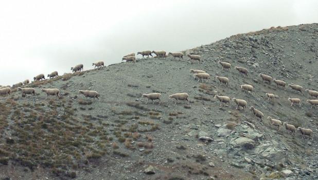 Стадо овец.
