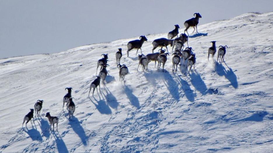 В Алтайском заповеднике проверили зимовку аргали.