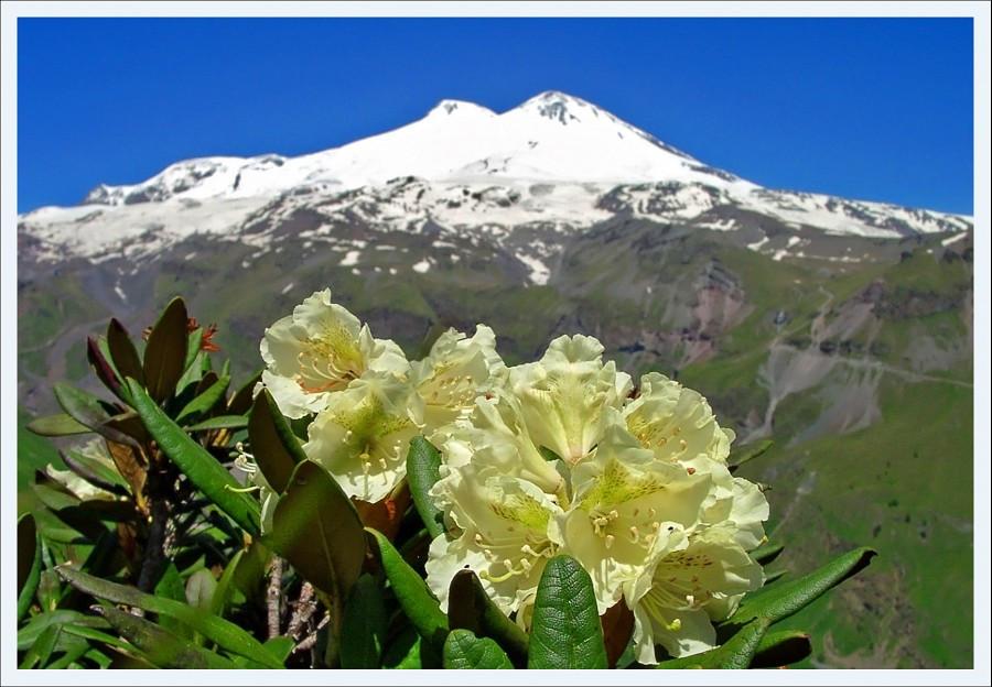 Рододендрон кавказский. Гора Эльбрус. Кабардино-Балкарская Республика. Снимок Михаила Голубева.