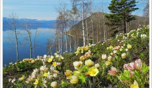Сон-трава. Озеро Байкал. Иркутская область. Снимок Надежды Степанцовой.