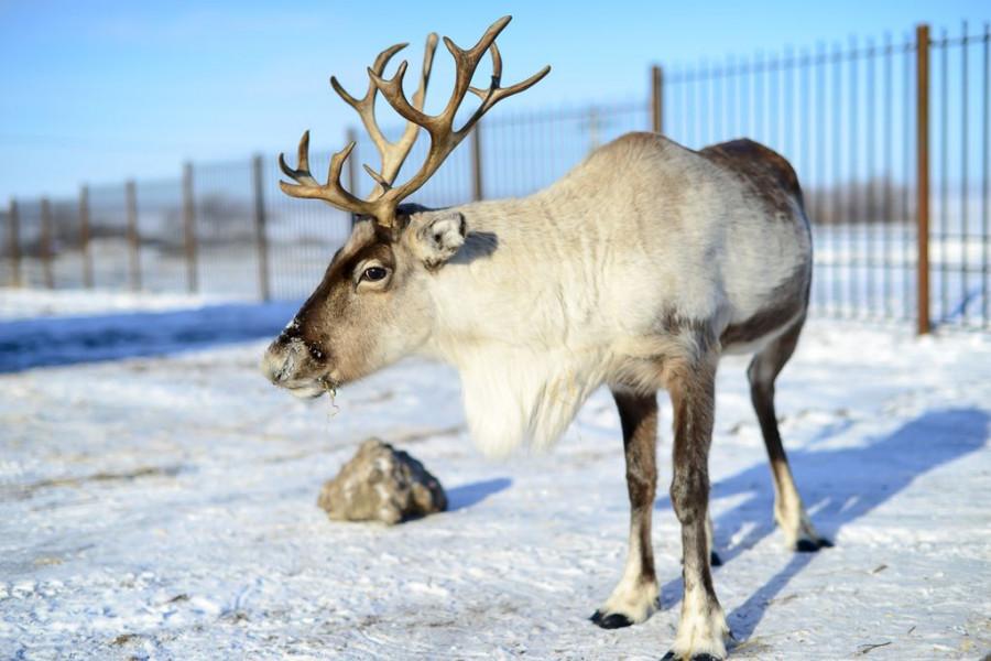 """""""Сибирское подворье"""" завело северных оленей."""