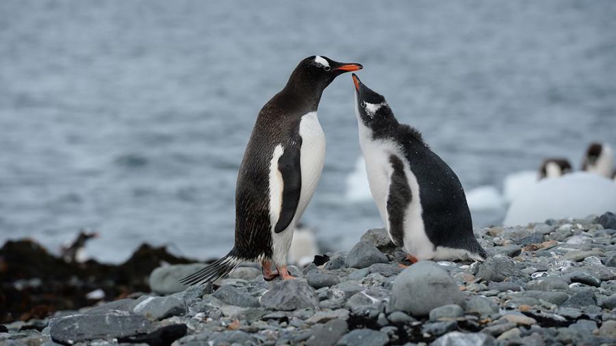 Пингвины в Антарктиде.