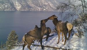 В Алтайском биосферном заповеднике сфотографировали маралов.