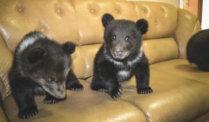 В барнаульском санатории родились медвежата.