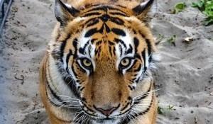 Тигр в барнаульском зоопарке.