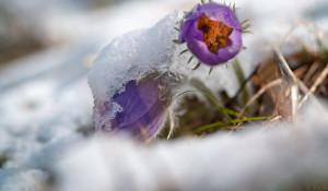 Первые весенние цветы в снегу.