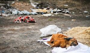 В лесу под Барнаулом нашли выброшенные трупы животных.