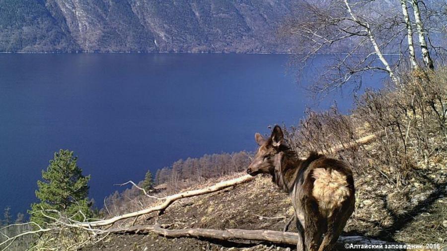 Марал в Алтайском биосферном заповеднике.