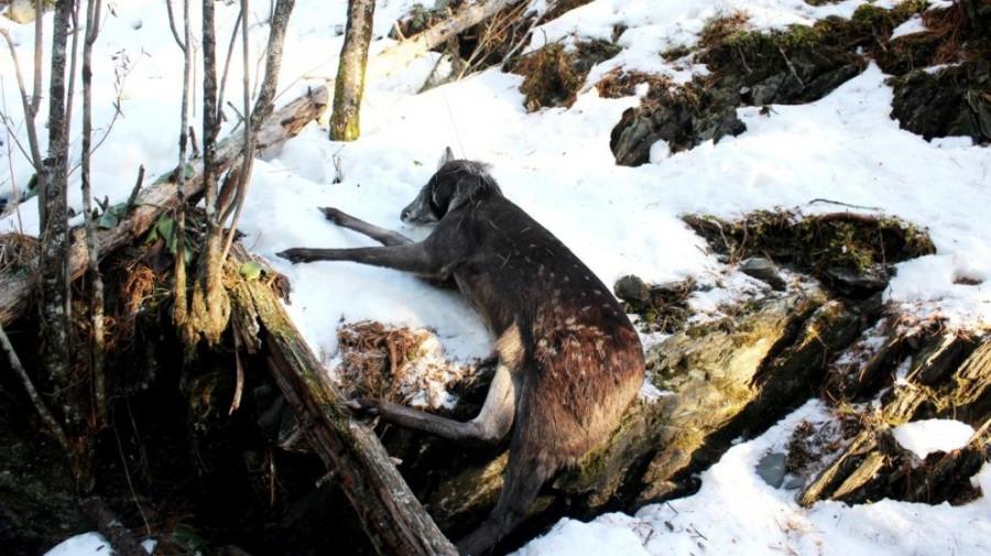 Задавленная в браконьерской петле кабарга (самец).