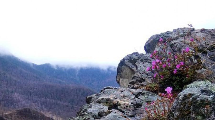 В Алтайском крае цветёт маральник