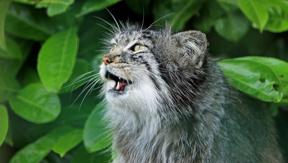 Манул, дикая кошка.