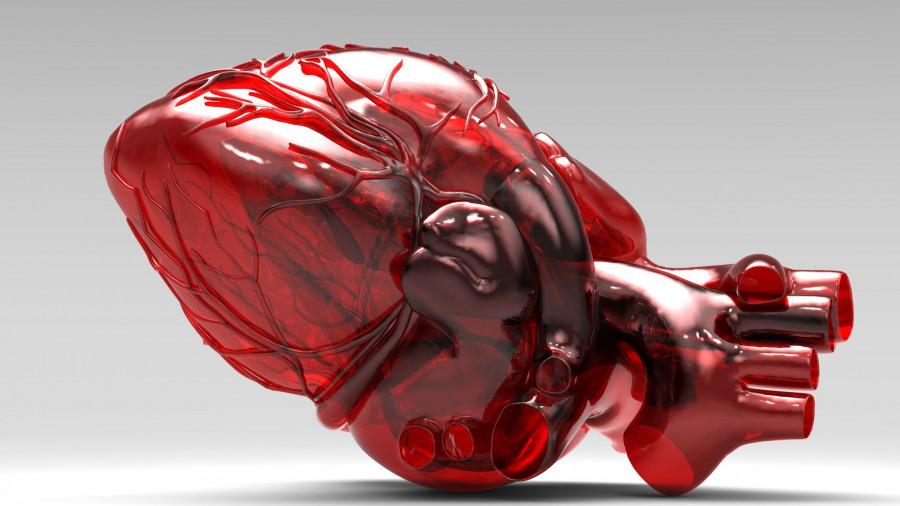 Модель сердца.