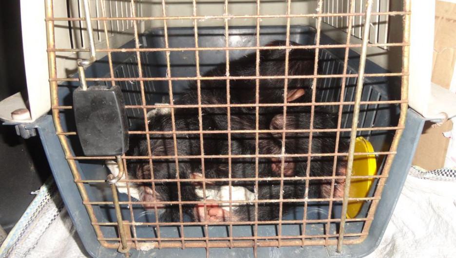 В Алтайский край пытались ввезти двух обезьян без документов.