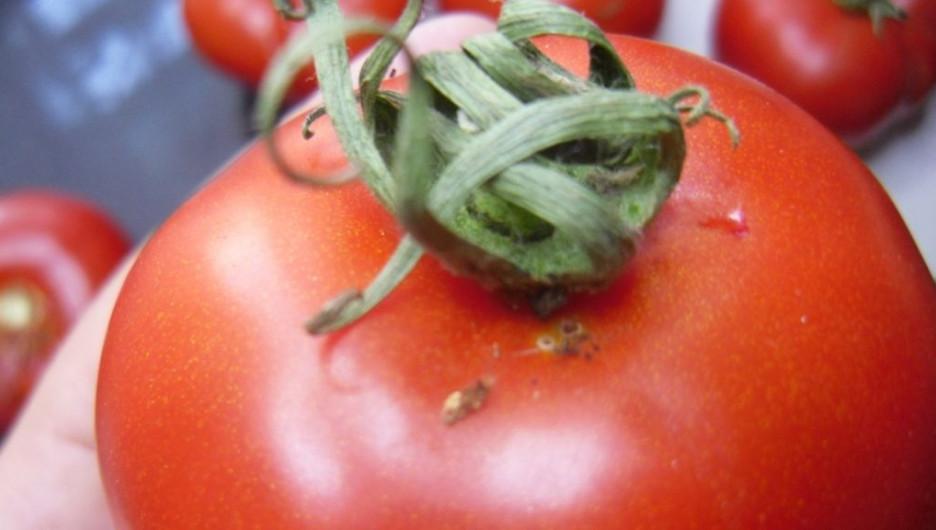 Узбекские помидоры, зараженные южноамериканской томатной молью.
