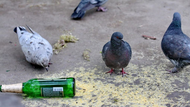 Голуби и алкоголь.