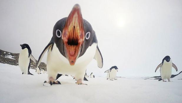 Когда пингвины атакуют, Антарктида.
