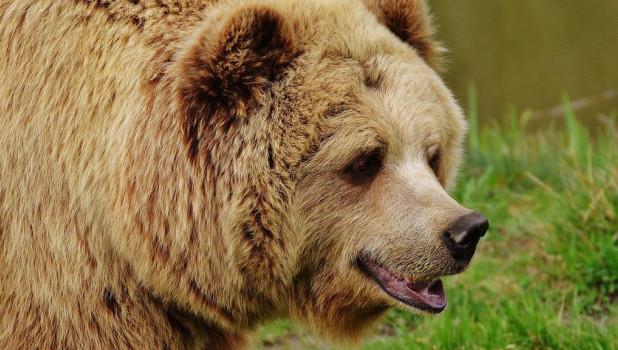 Голодный медведь задрал 12 лошадей депутата ГосдумыРФ